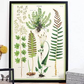 Large print - Ferns