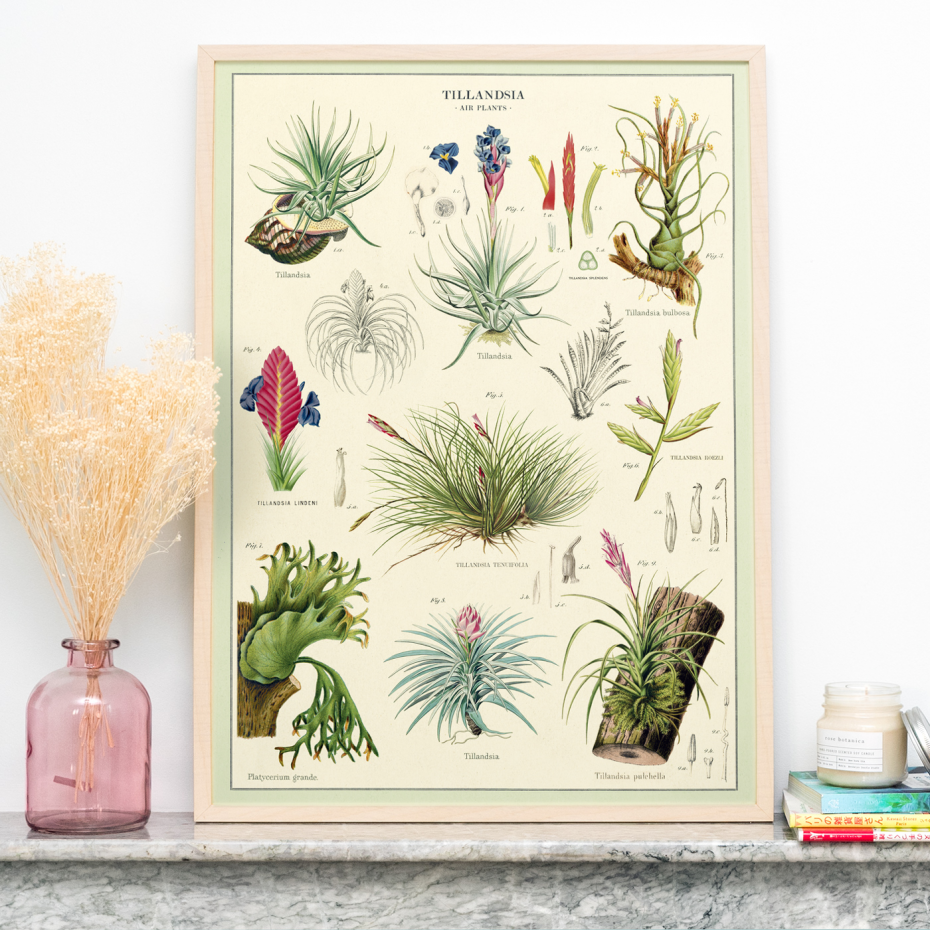 Les Filles De L Air Plante affiche / poster vintage tillandsia cavallini & co