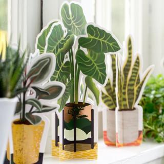 Paper plant - Alocasia