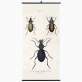 Biologica wall chart - beetles